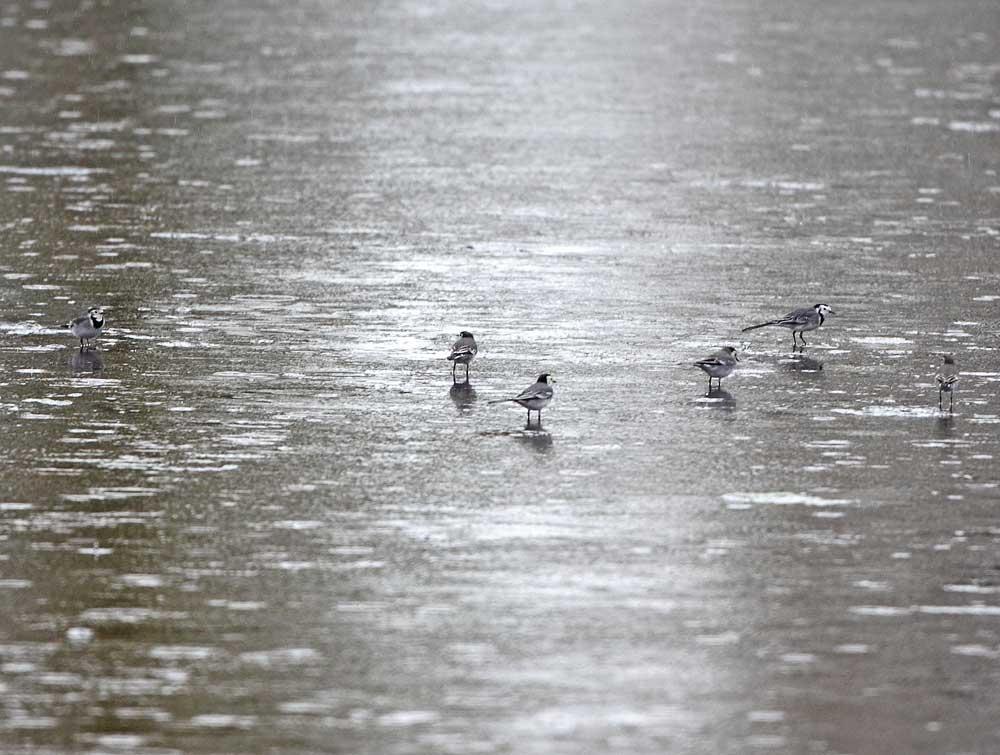 Grau in grau: Bachstelzen im Regen (Wassergewinnungsgelände / Langschede), 31.10.10 Foto: Bernhard Glüer