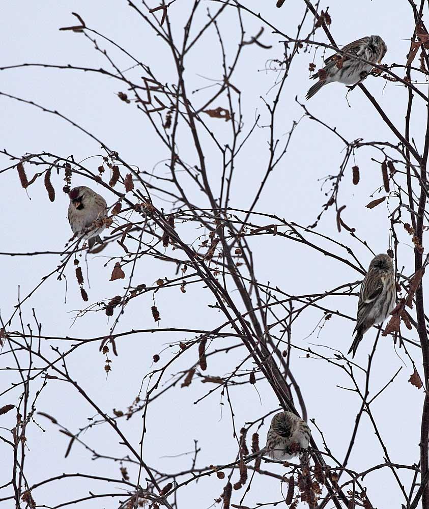 Birkenzeisige ernten Birkensamen, 14.12.10 Foto: Bernhard Glüer