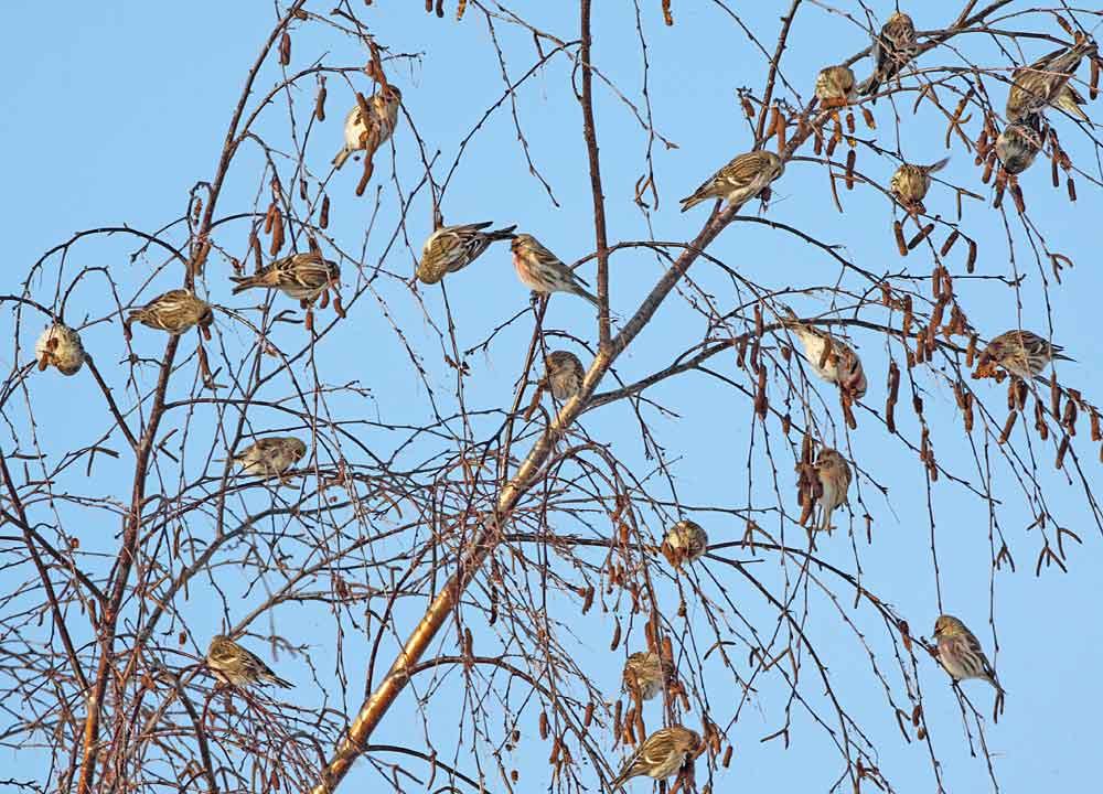 .... wie es bei dieser Vogelart ..., 18.12.10 Foto: Bernhard Glüer