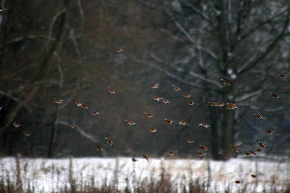 Bluthänflinge bei Fröndenberg am 10.01.2010 Foto: Gregor Zosel