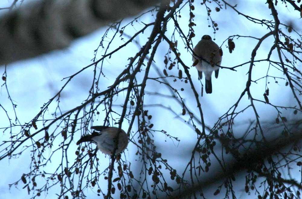 Gimpel im NSG Wulmke bei Fröndenberg am 18.12.2010 Foto: Gregor Zosel
