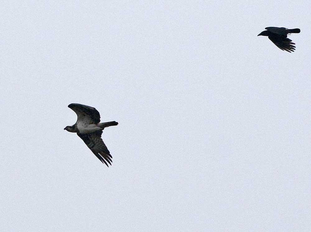 Rabenkrähe auf abstreichenden Fischadler hassend, 08.05.10 Foto: Bernhard Glüer