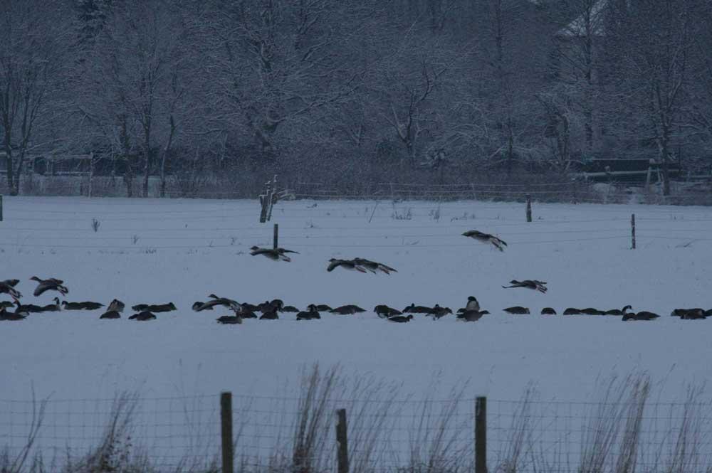Graugänse und Kanadagänse am NSG Kiebitzwiese bei Fröndenberg am 17.12.2010 Foto: Gregor Zosel
