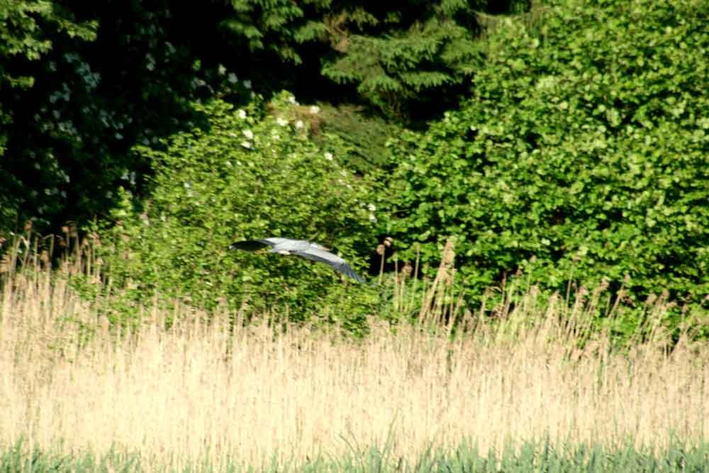 Graureiher zwischen Menden und Fröndenberg am 17.06.2010 Foto: Gregor Zosel