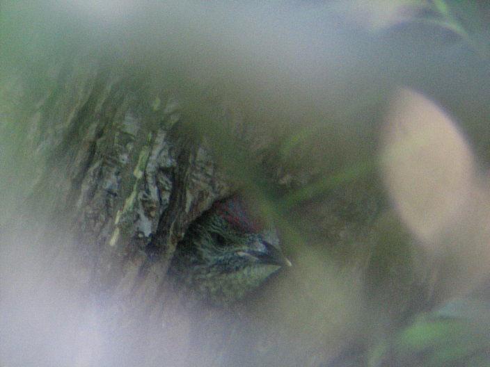 Junger Grünspecht bei Werne am 04.06.2010 Foto: KlauN Werne