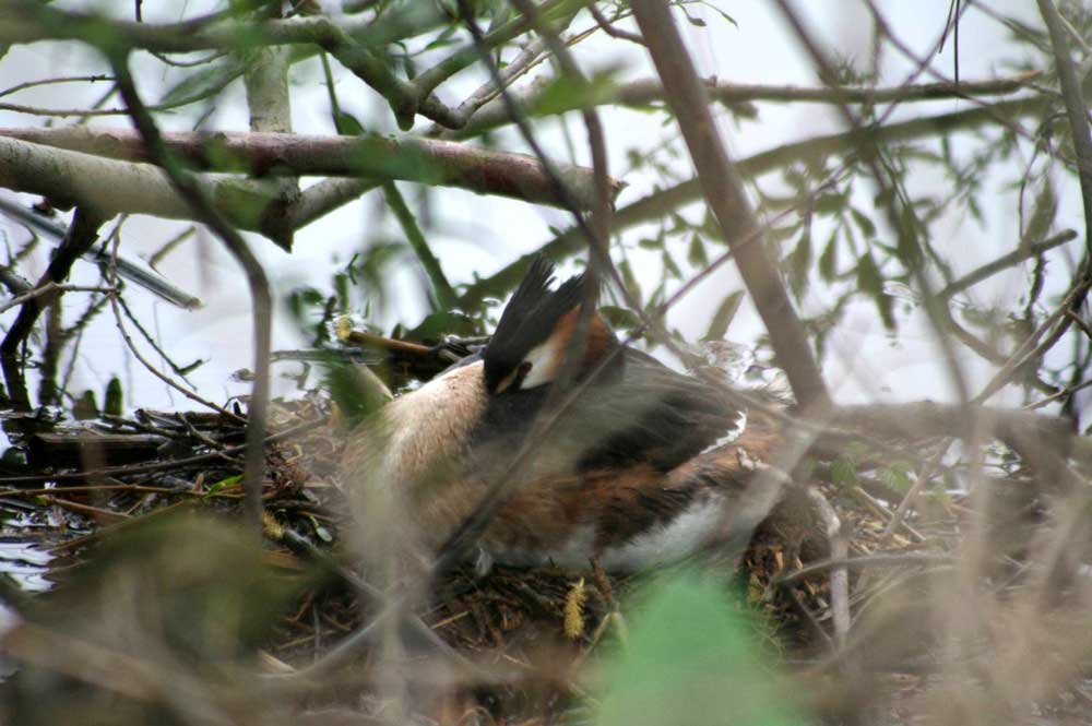 Haubentaucher auf Nest bei Fröndenberg am 08.05.2010 Foto: Gregor Zosel