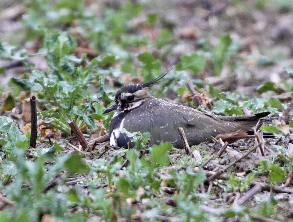 Kiebitze im doppelten Wortsinn im Regen - dieses Weibchen ahnt noch nicht, dass auch für ihr Gelege die Tage gezählt sind, 26.03.10 Foto: Bernhard Glüer