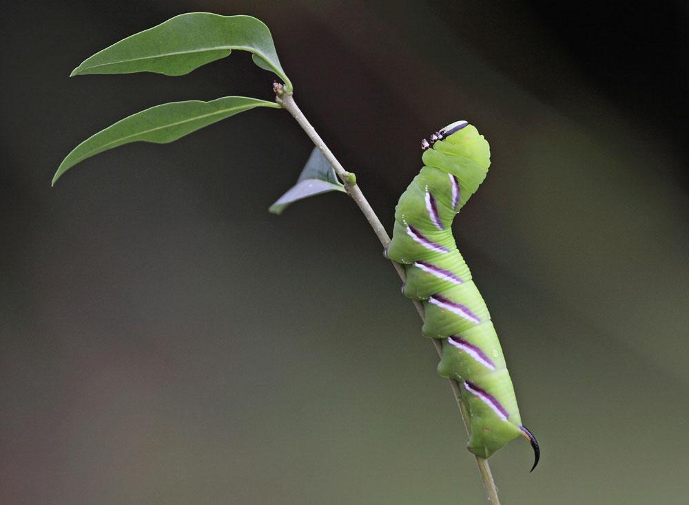 Die Schreckhaltung der Raupe, die an die altägyptische Sphinx erinnert, brachte dem Falter in Verbindung mit der bevorzugten Futterpflanze den wissenschaftlichen Namen ein: Sphinx ligustri, 26.08.10 Foto: Bernhard Glüer