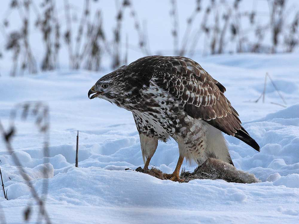 ....obwohl ein so großes Tier... 20.12.10  Foto: Bernhard Glüer