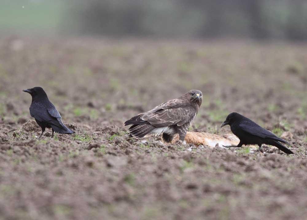 Mäusebussard teilt unfreiwillig den Kadaver mit Rabenkrähen, 27.03.10 Foto: Bernhard Glüer