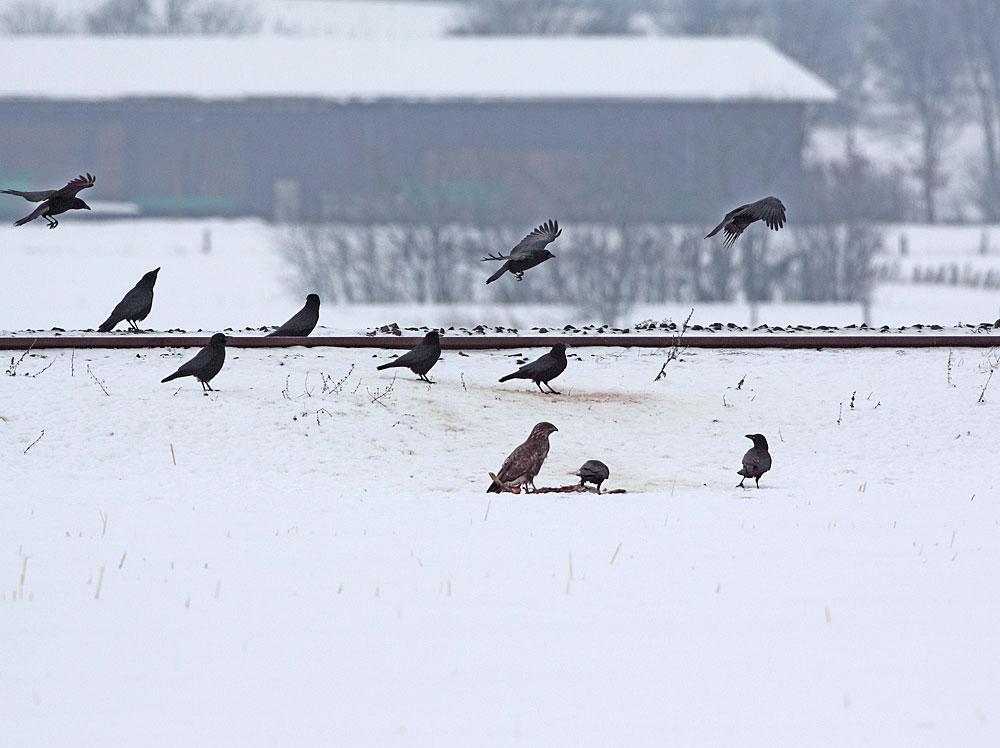 Auch hier haben einige Nutznießer Glück: frischer Feldhase am Eisenbahngleis / Hemmerde, 27.12.10 Foto: Bernhard Glüer