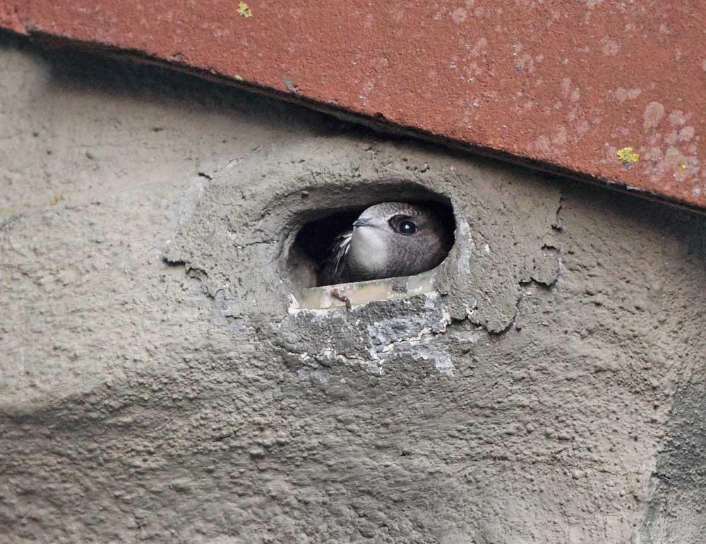 Junger Mauersegler schaut unruhig aus der Bruthöhle - der erste Abflug wird nicht mehr lange auf sich warten lassen, 28.07.10 Foto: Bernhard Glüer