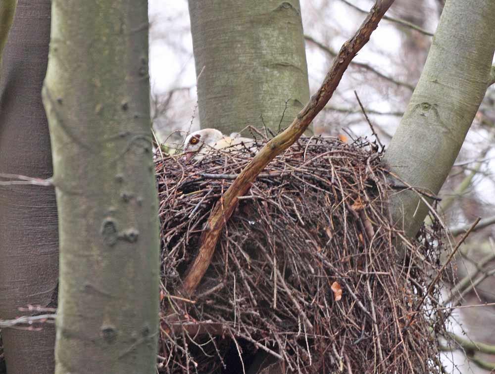Brütende Nilgans auf Habichthorst bei Bausenhagen, 29.03.10 Foto: Bernhard Glüer