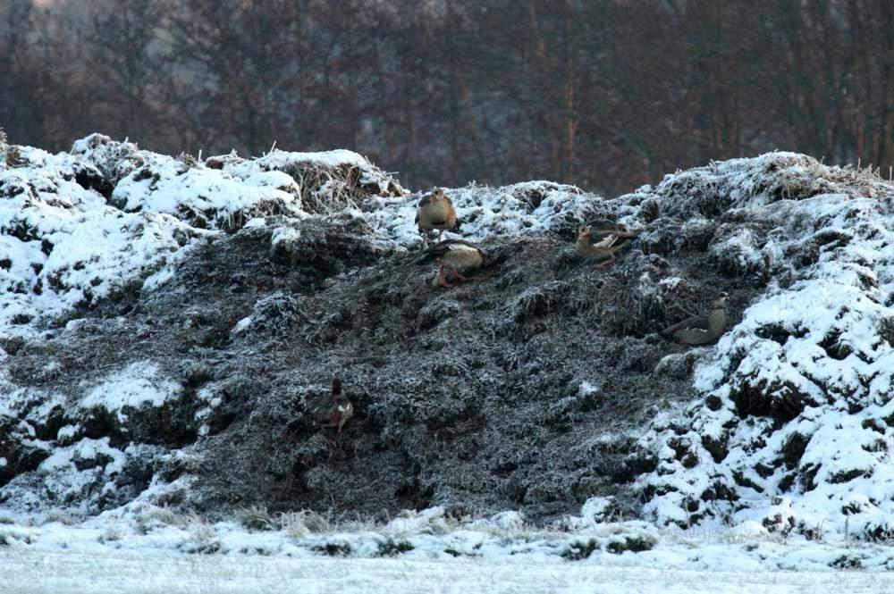 Nilgänse auf einem Misthaufen bei Fröndenberg am 04.12.2010 Foto: Gregor Zosel
