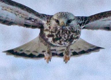 Die doppelte Schwanz - Endbinde ist typisch ab dem zweiten Lebensjahr eines Männchens, 26.01.10 Foto: Bernhard Glüer