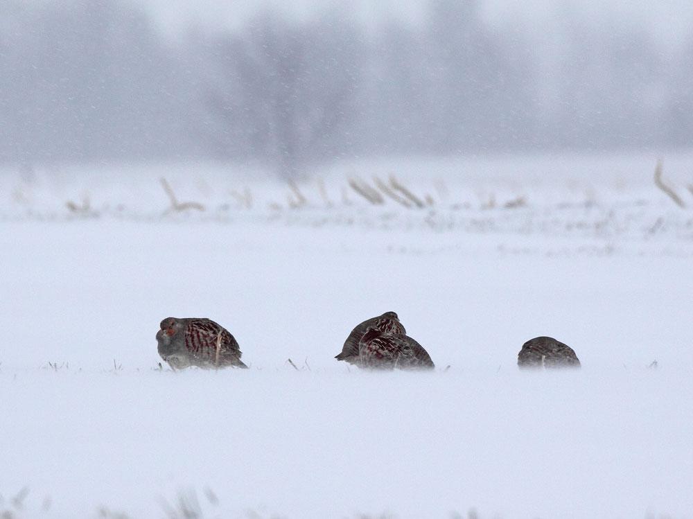 Rebhühner im Schneetreiben bei Schlückingen, 09.01.10 Foto: Bernhard Glüer