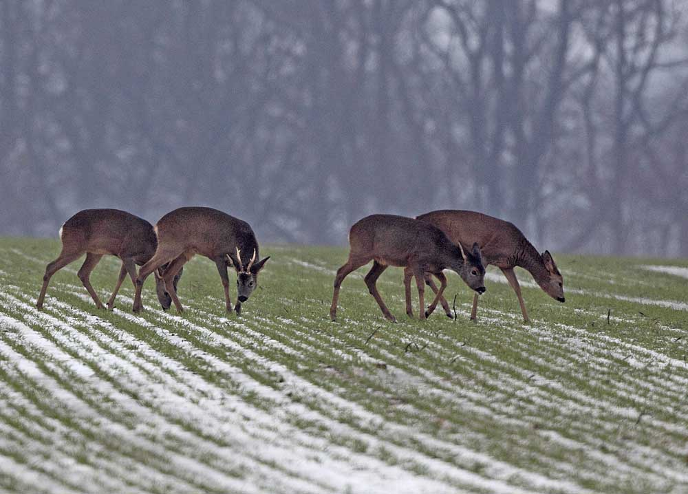 Rehe bei Ostbüren - der Bock trägt seinen Kopfschmuck sicher nur noch ein paar Tage, 11.12.10 Foto: Bernhard Glüer