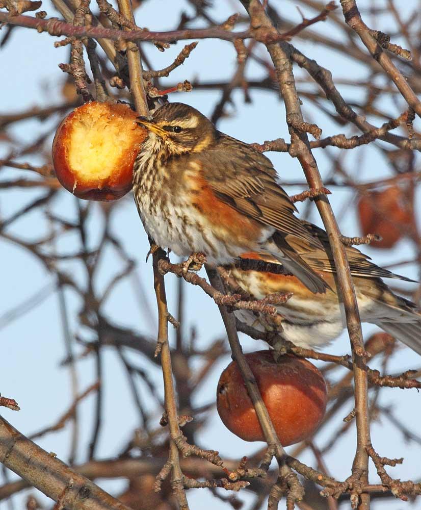 Rotdrosseln an tiefgefrorenen Äpfeln bei Lünern, 18.12.10 Foto: Bernhard Glüer