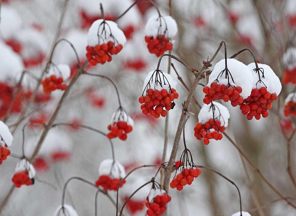 Schneeballbeeren - Hoffnungsträger für manche Beerenfresser - vor allem für Seidenschwänze (und den suchenden Ornithologen) ...., 19.12.10 Foto: Bernhard Glüer