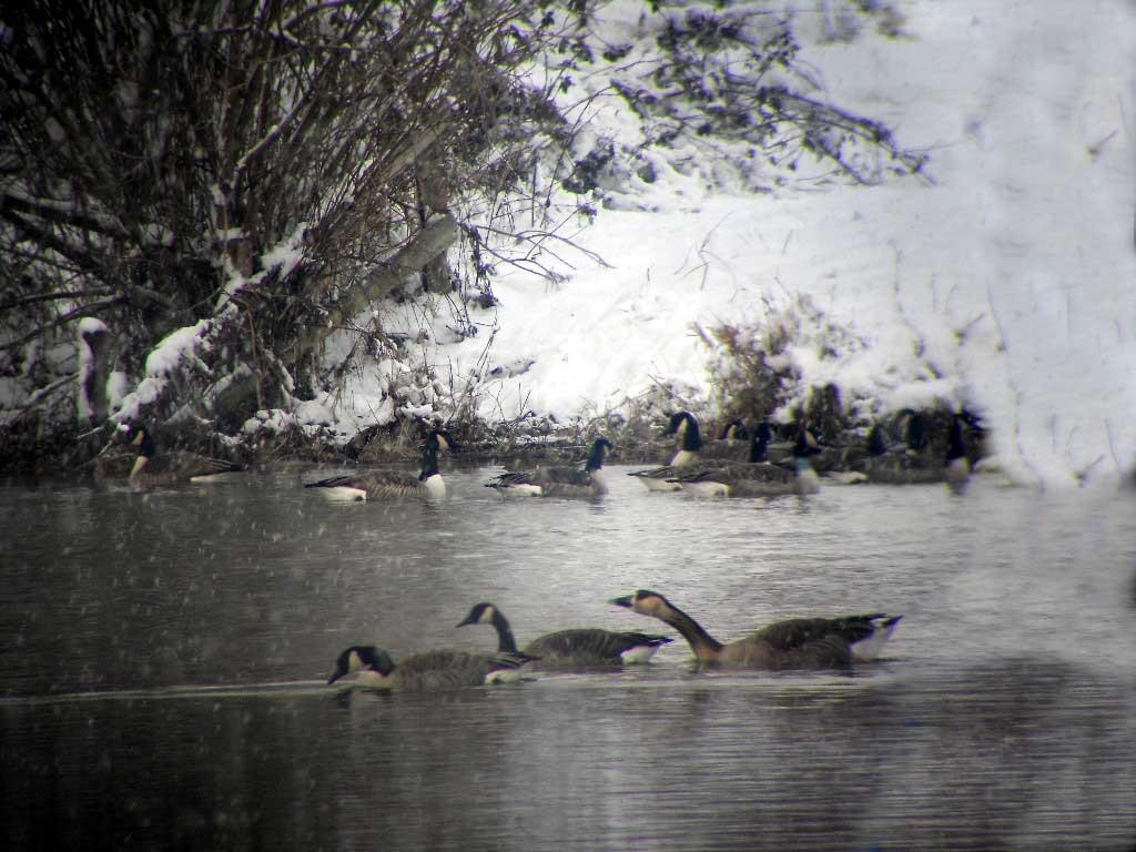 Schwanengans in der Lippeaue bei Werne am 18.12.2010 Foto: KlauN Werne