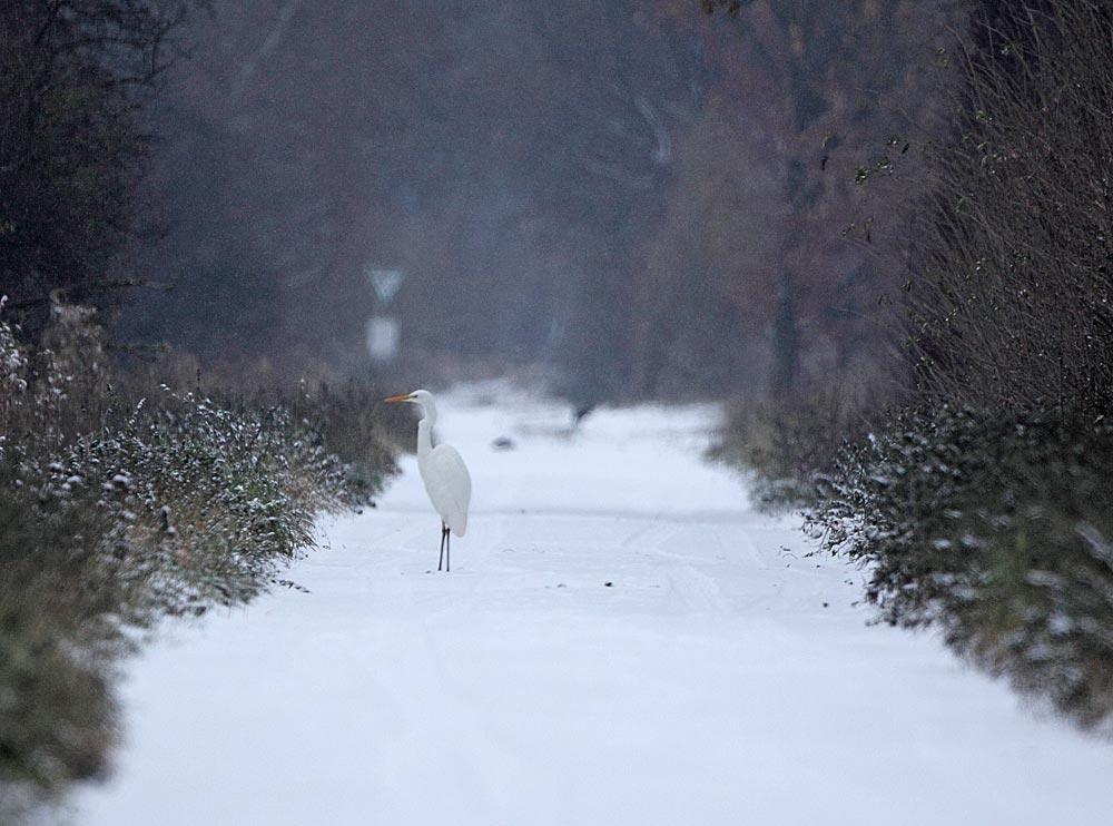 Weiß auf Weiß - winterliche Impression mit Silberreiher in den Hemmerder Wiesen, 02.12.10 Foto: Bernhard Glüer