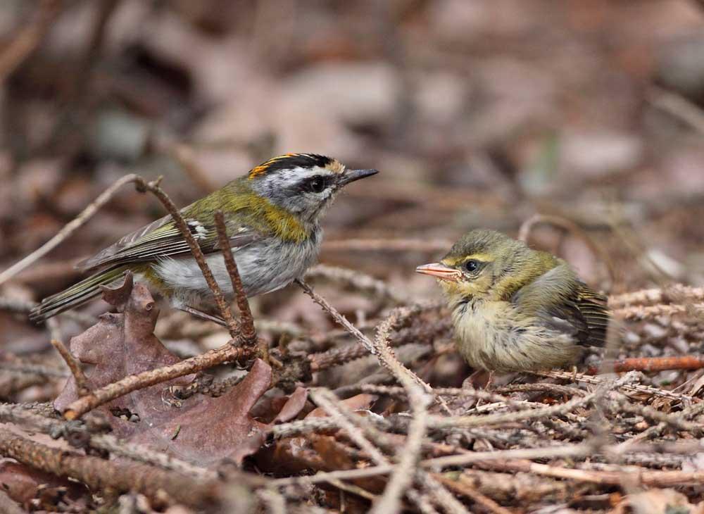 Fürsorglicher Sommergoldhähnchen-Papa versorgt einen noch nicht ganz flugfähigen Jungvogel, 15.07.10 Foto: Bernhard Glüer