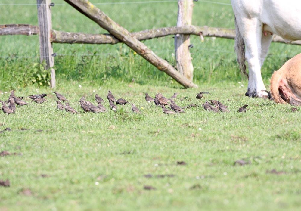 Stare auf Rinderweide mit zahllosen Tipulalarven in der Grasnarbe. - Man sieht mindestens 33 Jungvögel neben 1 Altvogel, 24.05.10 Foto: Bernhard Glüer