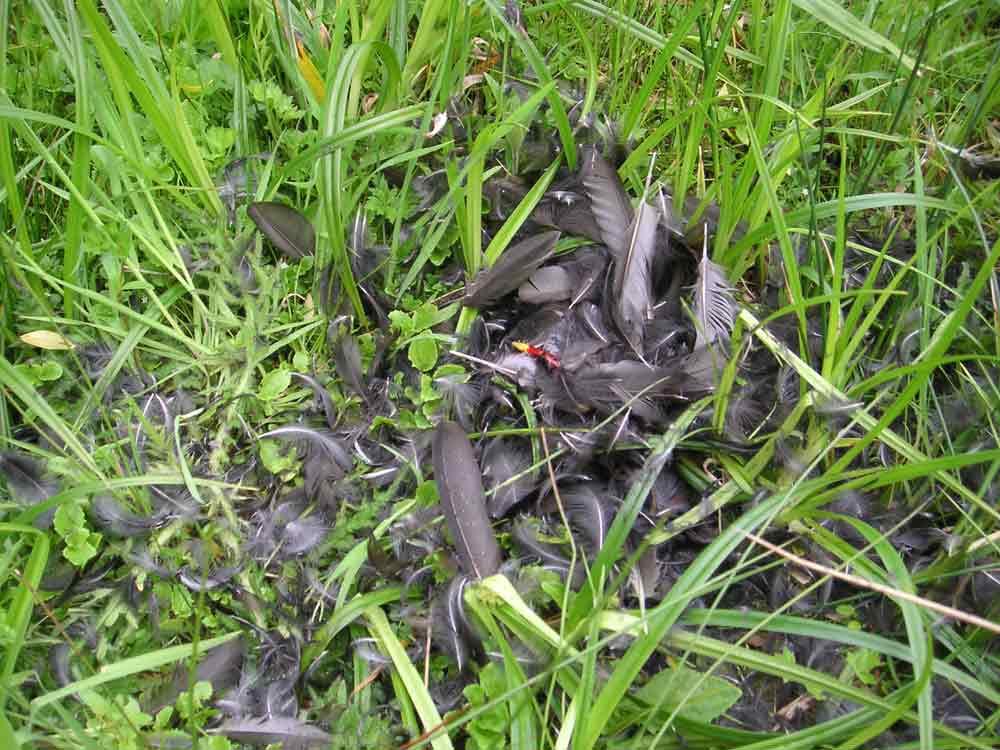 Teichhuhn-Rupfung am Elsebach - dank des Schnabels auch für den (federkundlich) Ungeübten eine einfache Beute, 19.05.10