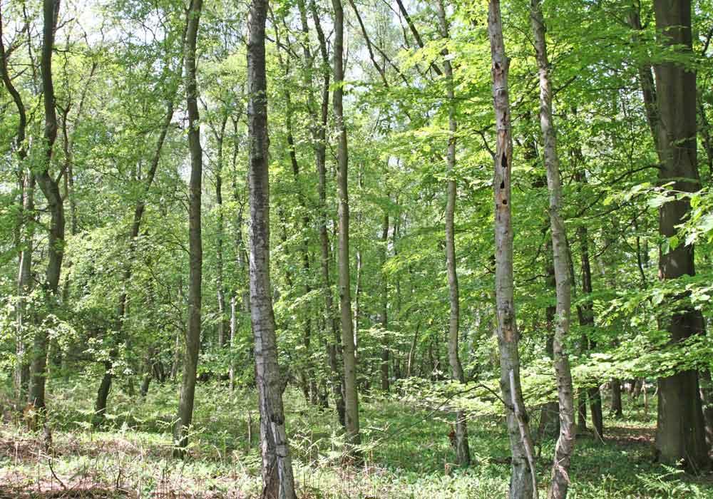 Trauerschnäpper-Habitat im Hemmerder Schelk - ein Wald, der keinem Förster gefällt (Krummholz, wertlose Birken, stehendes Totholz)  -  der Brutbaum vorne rechts, 24.05.10 Foto: Bernhard Glüer