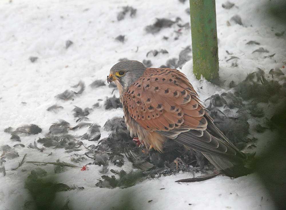 ... fängt der Falke an zu fressen..., 28.12.10 Foto: Bernhard Glüer