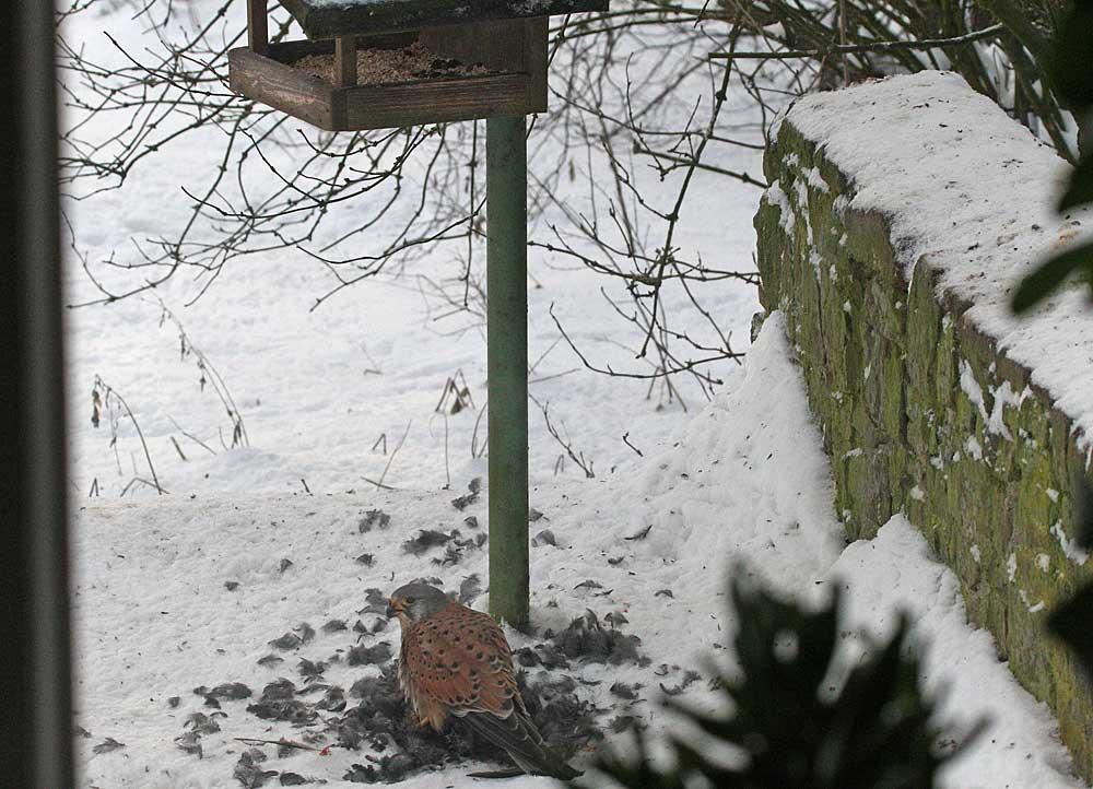 ... wenn im Winter die Fenster nicht geputzt sind, doch die ungewöhnliche Szene muss festgehalten werden...., 28.12.10 Foto: Bernhard Glüer