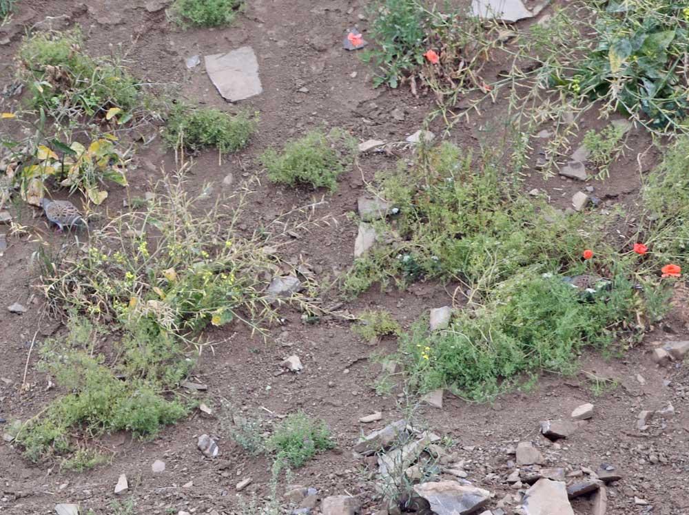 Turteltaubenpaar in einem Schotterhang nahrungssuchend (Suchbild: der 2.Vogel ist zwischen den Klatschmohnpflanzen), Steinbruch bei Retringen/MK, 24.07.10 Foto: Bernhard Glüer