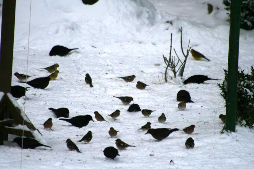 Vogelfütterung bei Fröndenberg am 09.01.2010 Foto: Gregor Zosel