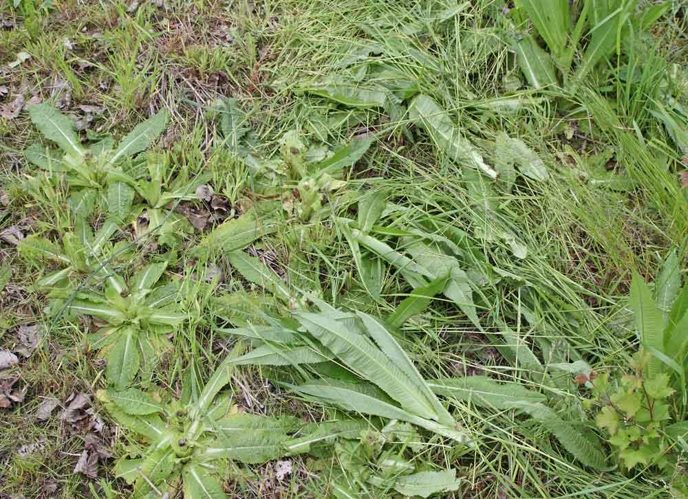 Hier musste ein kleiner Bestand der Großen Karde (Dipsacus silvester) weichen - über Wochen im blütenarmen Hochsommer ein wichtiger Nektarspender für Hummeln und Schmetterlinge, 02.06.10 Foto: Bernhard Glüer