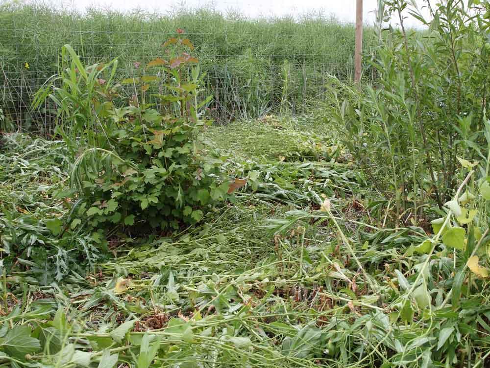 Und hier stand ein kräftiger Bestand des Zottigen Weidenröschens im Weg (bevorzugter Brutplatz des Sumpfrohrsängers), 02.06.10 Foto: Bernhard Glüer