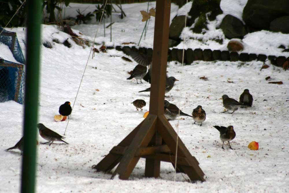 Wacholderdrosseln, Rotdrossel und mehr bei Fröndenberg am 31.01.2010 Foto: Gregor Zosel