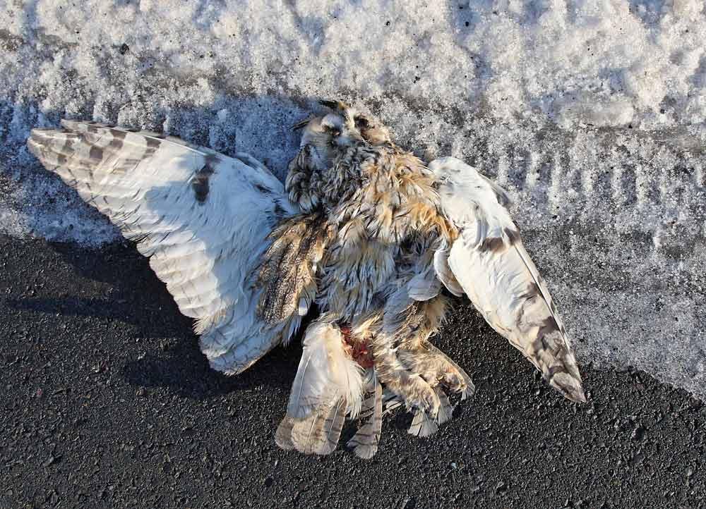 Waldohreule als Verkehrsopfer südlich Westhemmerde, 29.12.10 Foto: Bernhard Glüer