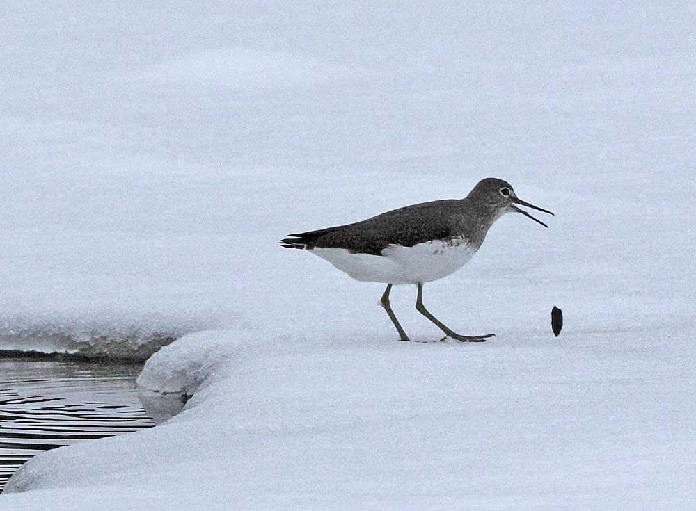 .... springt plötzlich aus dem Wasser, würgt einen Speiballen hervor..., 10.12.10 Foto: Bernhard Glüer