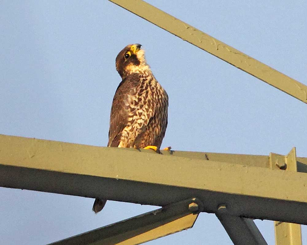 Der zunehmend nervöse Falke mit ständigem Blick auf vorüberflüchtende Vögel - kurz bevor er selbst flüchtete, 29.12.10 Foto: Bernhard Glüer
