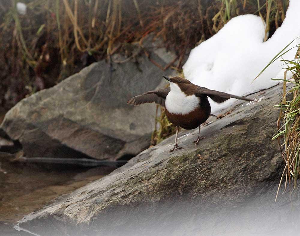 Paarungsbereites Wasseramselweibchen mit schwirrenden Flügeln (Hönne), 27.12.10 Foto: Bernhard Glüer
