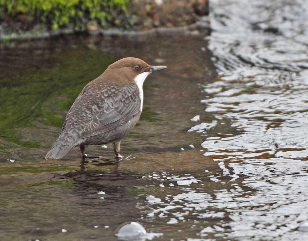 Wasseramsel im Wassergewinnungsgelände, 31,10.10 Foto: Bernhard Glüer