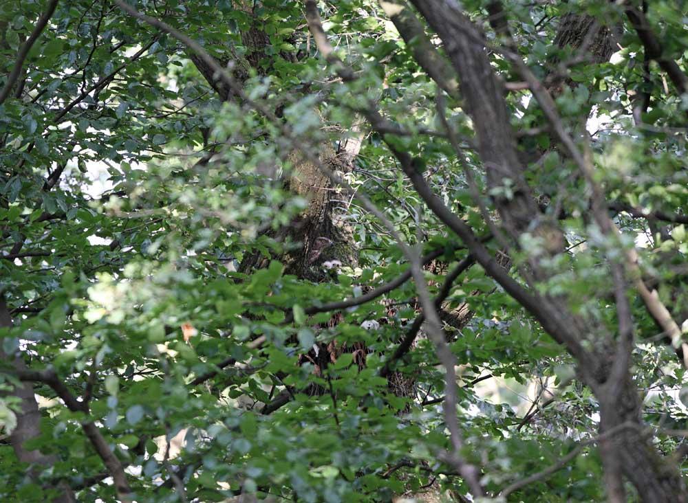 Durch einen Sichtkorridor im Blattwerk deutlich auszumachen - 2 junge Wespenbussarde, die vom Weibchen gerade gefüttert werden, 17.07.10 Foto: Bernhard Glüer