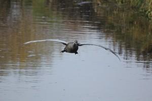Juveniler Höckerschwan im Frontalanflug