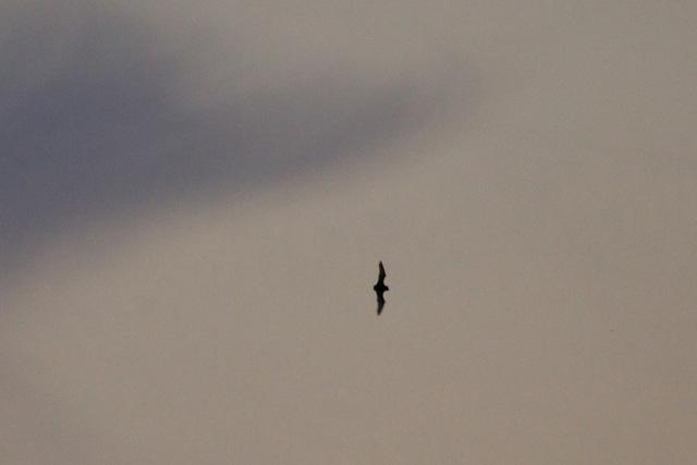 Fledermaus über Fröndenberg am 02.09.2011 Foto: Harald Maas