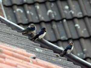 Zwischen vielen Jungvögeln sind auch Adulte zu sehen am 04.08.2011 Foto: K.Nowack