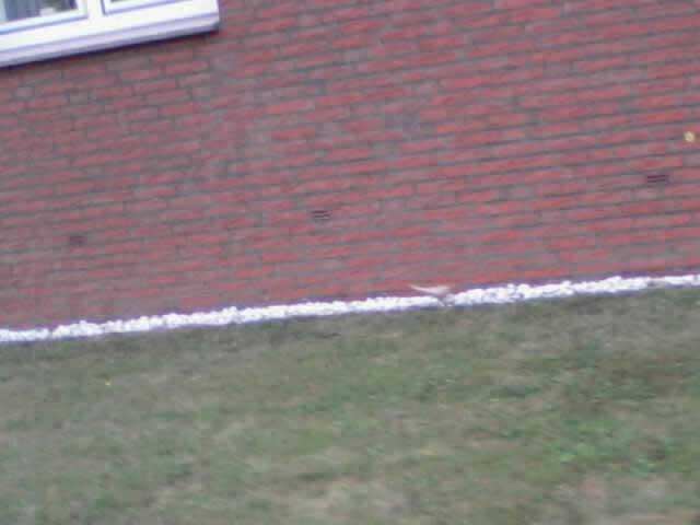 Belegaufnahme mit dem Mobiltelefon: fehlfarbene Amsel bei Selm am 21.07.2011 Foto: Uwe Norra