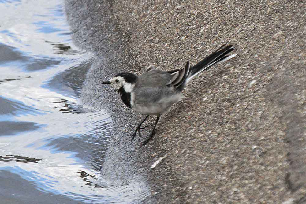 Bachstelze sucht am Ufersaum eines Filterbeckens nach Nahrung am 28.08.11 Foto: Gregor Zosel