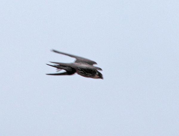 In hohem Tempo davonsausender Baumfalke mit gerade erbeuteter Rauchschwalbe über den Hemmerder Wiesen, 12.08.2011, Foto: Bernhard Glüer