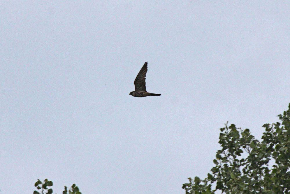 Baumfalke jagt über dem Auwald am Mendener Ententeich am 25.07.11 Foto: Gregor Zosel