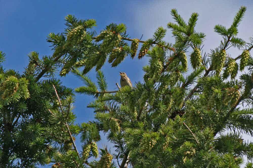 In den Baumwipfeln ein singender Baumpieper am 12.06.11 Foto: Gregor Zosel